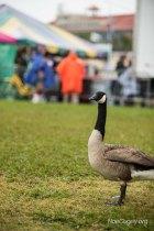 New Orleans Jazz Fest 2016 - Goose