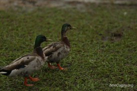 New Orleans Jazz Fest 2016 - Ducks